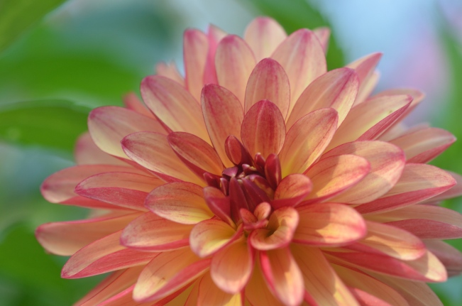 Dahlia 'Gitts Crazy'