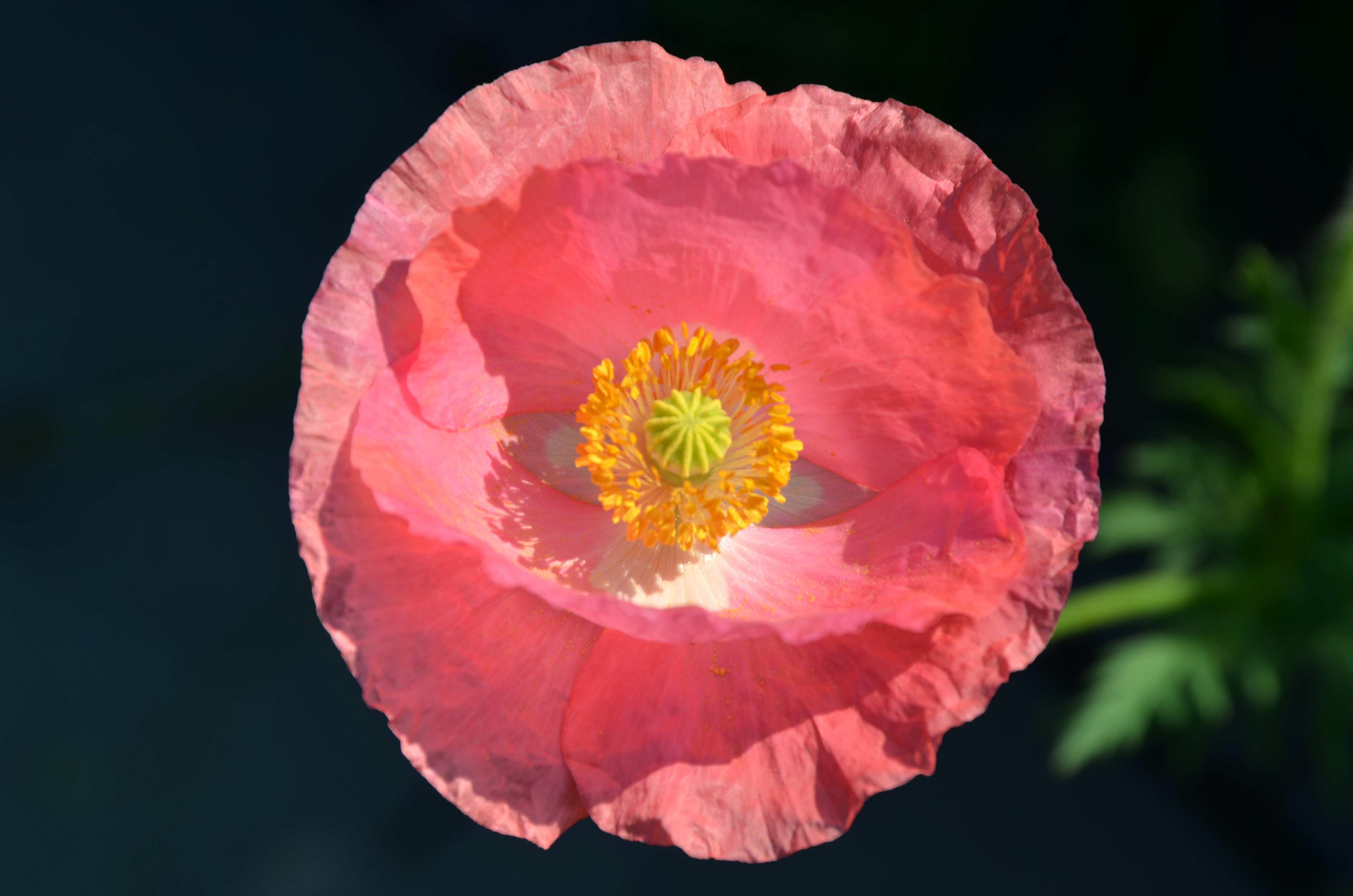 Today Is Poppy Day Before You Garden