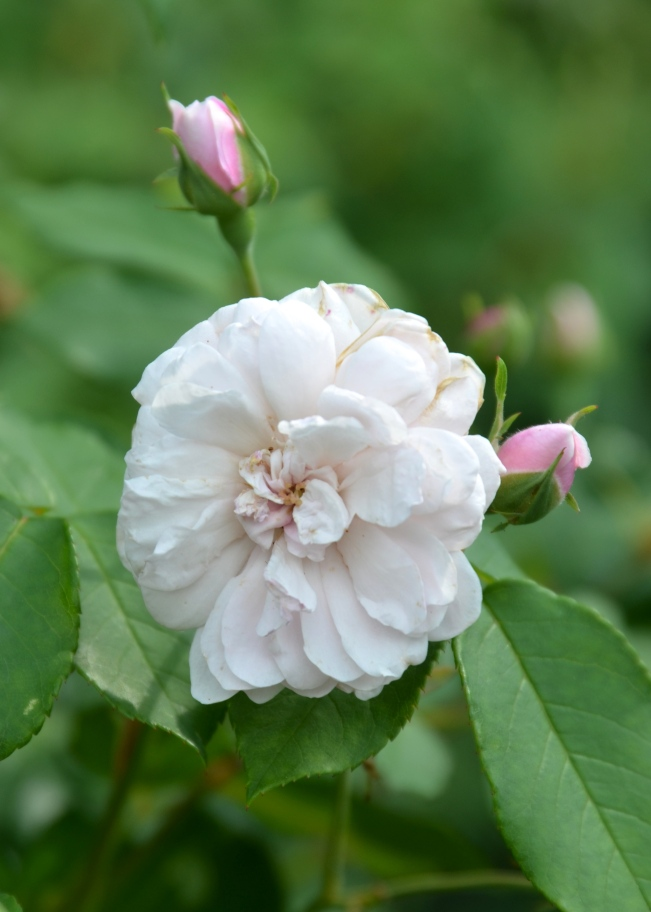 Blush Noisette Rose and two perfect buds  in the Rose Garden at Wyck