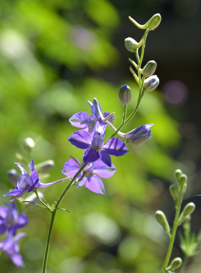 Larkspur flowers (Consolida ) look like a smaller version of a Delphinium- to which they are closely related.