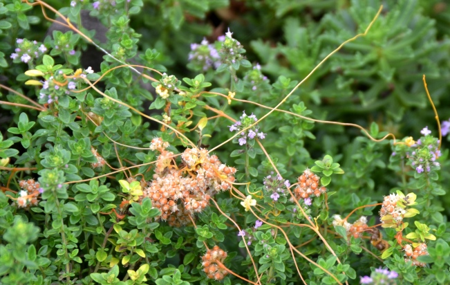 Thyme Dodder is a parasitic plant that contains no chlorophyll