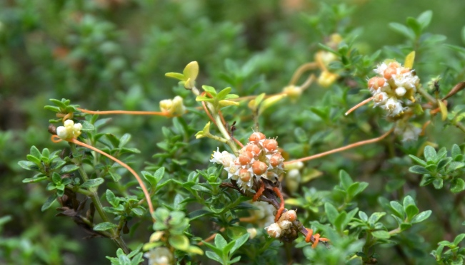 Thyme Dodder punctures the thyme plant - its unwilling host. Using an attachment structure called a haustoria it taps into the thyme stem and extracts water and nutrients.