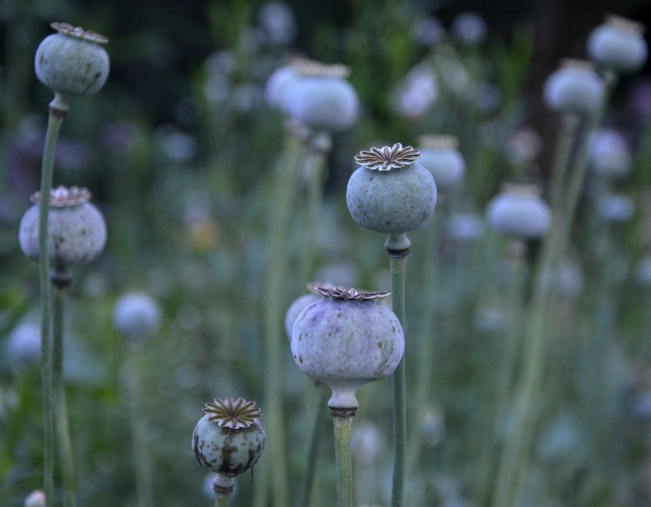 By July the seed heads of the poppies are like ghosts in the dusk.  Soon the goldfinches will balance on the pods and peck holes so that they can eat the seeds inside.