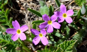 Primula angustifolia or Alpine Primrose is another minute treasure. This plant is sometimes called Fairy Primrose and standing at just two inches high it is easy to see why.