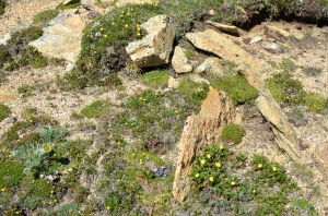 In the Alpine Tundra perennial plants form tufted cushions or mats of foliage. The height of the stem is usually only 1-3 inches but the roots are very long (measured in feet) to anchor the plant and provide moisture.