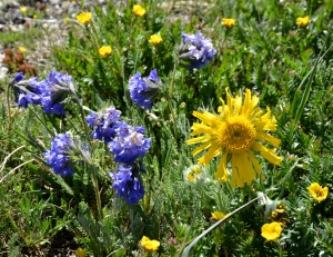Rydbergia (large yellow composite flower) with the intensely blue/purple clustered flowers of Polemonium viscosum or Sky Pilot / Skunkweed. Sky Pilot is related to our Eastern American wildflower- Jacob's Ladder. Bottom right the small yellow Alpine Avens (Geum rossii / Acomastylis rossii turbinata).