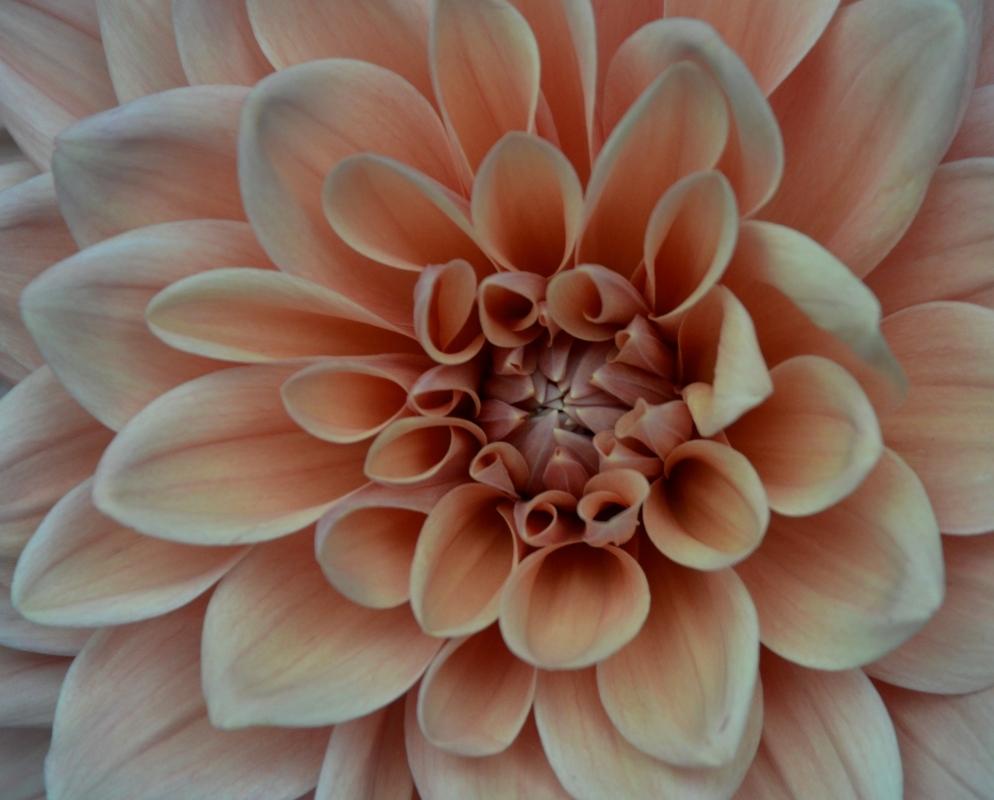 Cutting A Dahlia Flower Nearly Needs A Stepladder Before You Garden