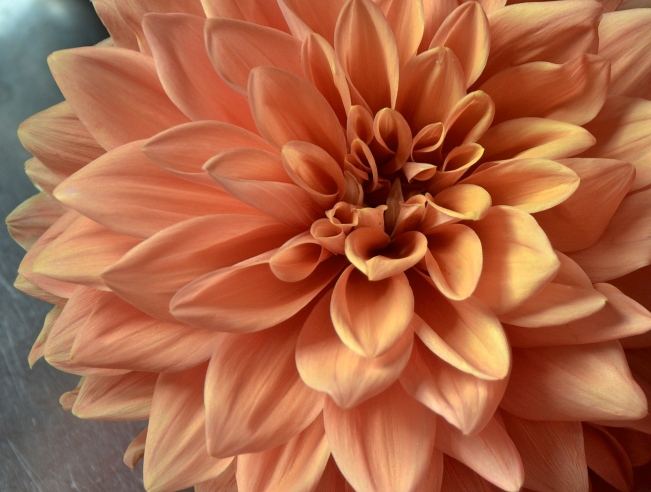 Heart of Milwaukee Dahlia. All dahlias seem to change color as they age and are bleached by the sun. Colors also appear different at different times of the day.