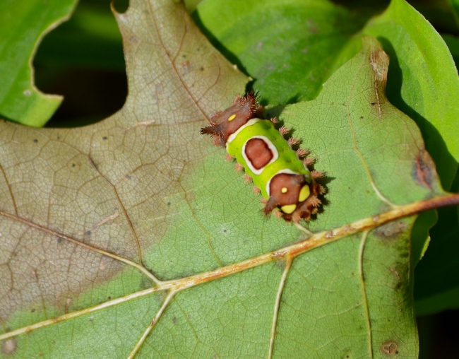 The saddleback caterpillar is obviously named, the slug part of its name refers to the foot underneath that looks like a slug foot. The foot allows that caterpillar to cling to leaves and carry on feeding.