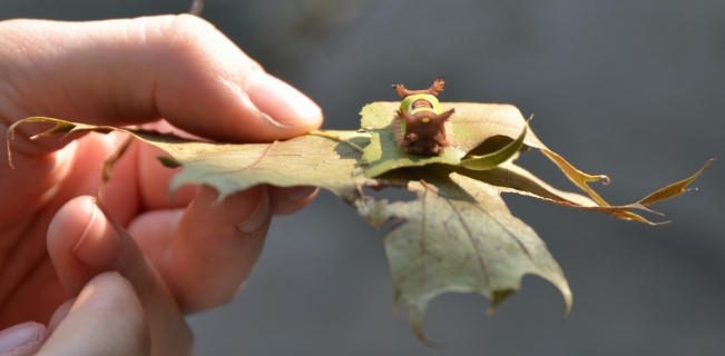 Note the size of this stout looking caterpillar in relation to the thumb nail. Length is just less than an inch (2cm).