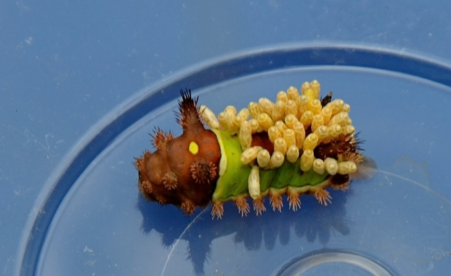The Saddleback Caterpillar with parasitic wasp cocoons