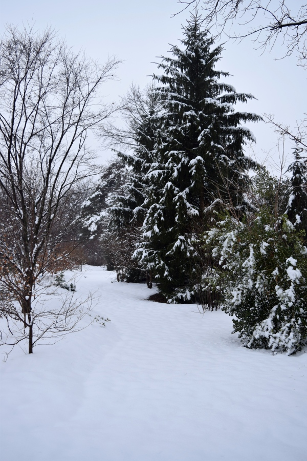 Snowy evergreen trees in the Winter Walk at Northview garden