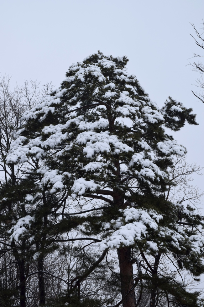 Scots Pine outlined in snow (Pinus sylvestris)