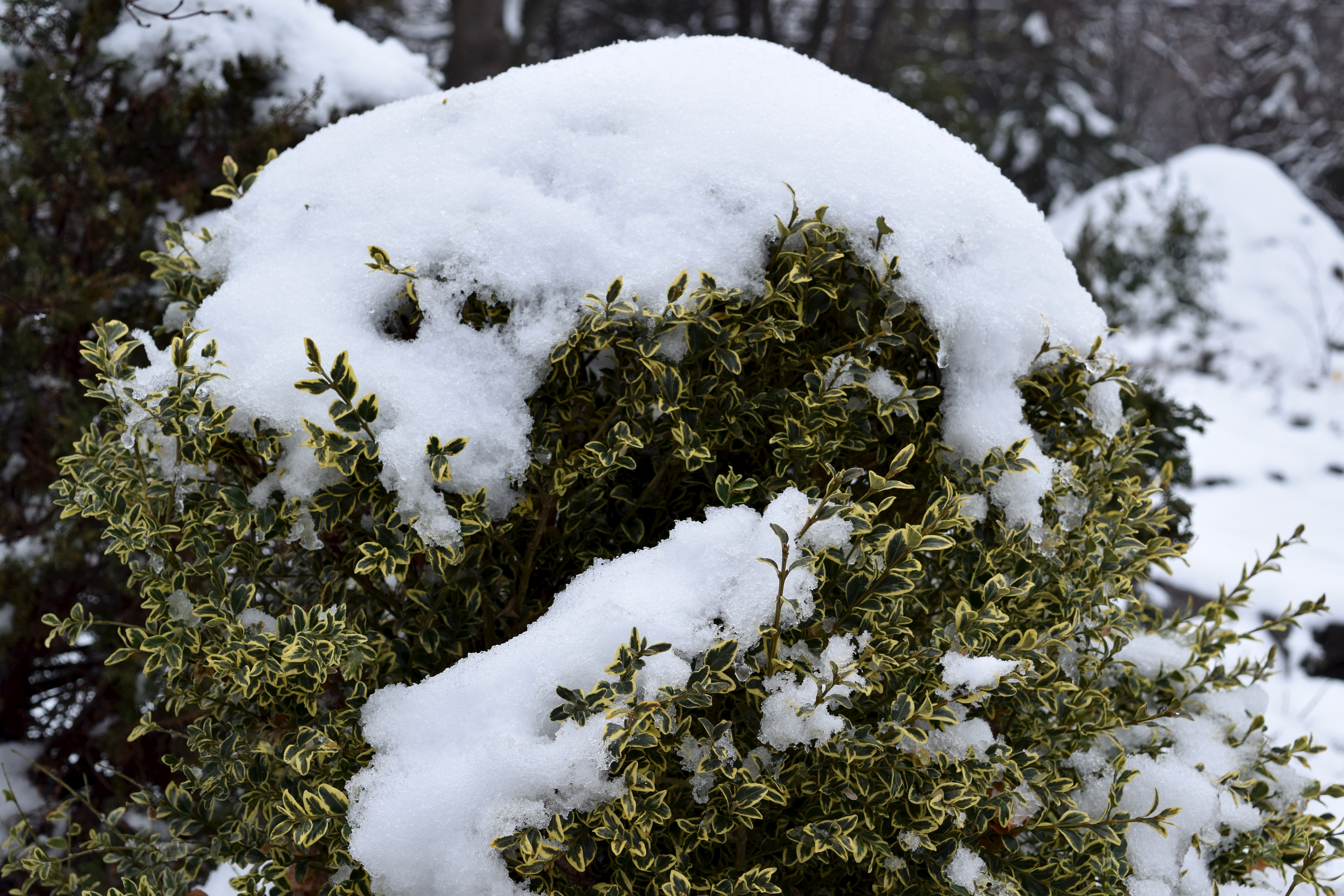 Preventing Snow Damage To Evergreen Trees And Shrubs In
