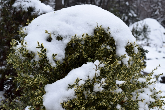 Variegated boxwood with a topping of snow