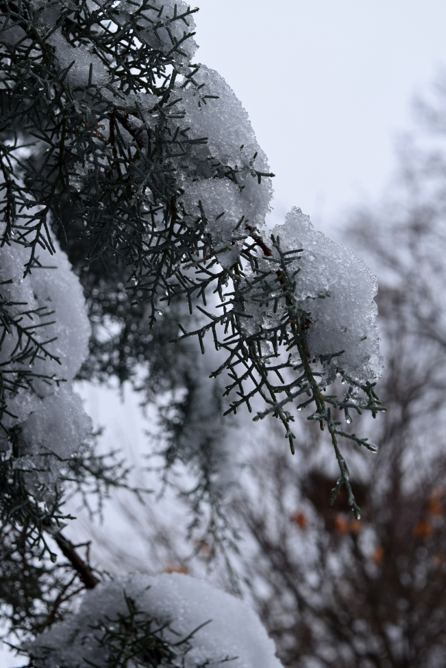 Cupressus arizonica 'Blue Ice' outlined in snow