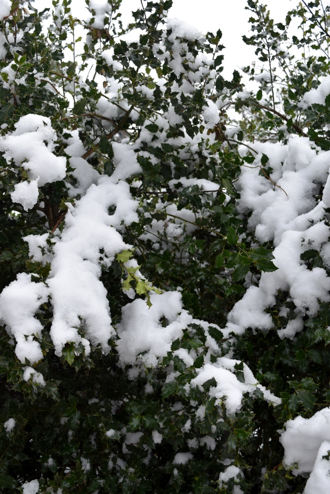 Evergreen Holly weighed down by a load of snow