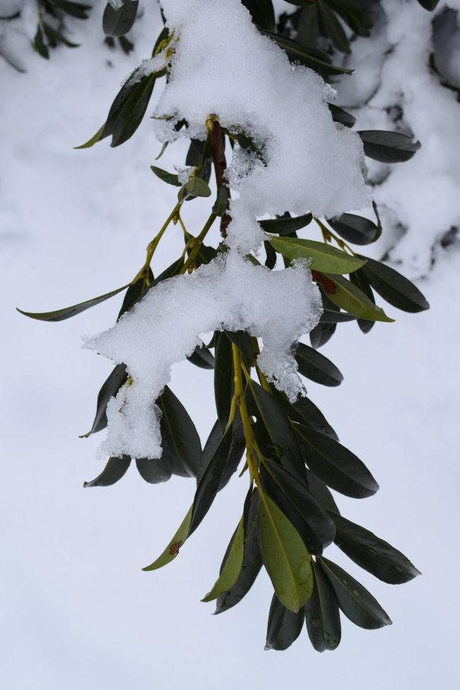 Cherry Laurel in the snow