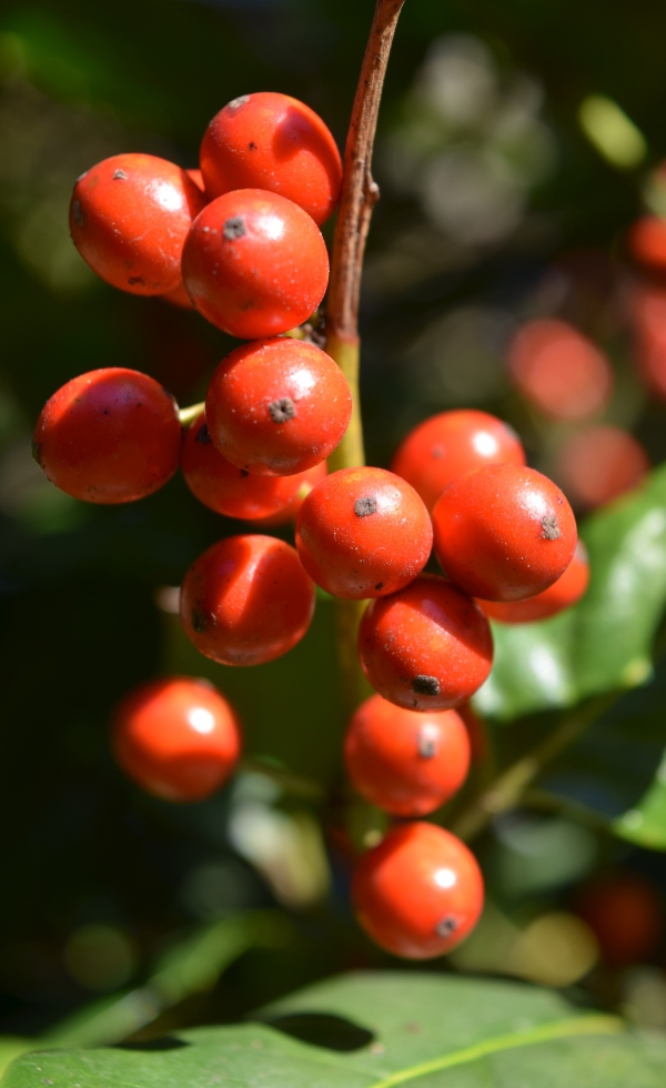 Holly berries January 1st 2015
