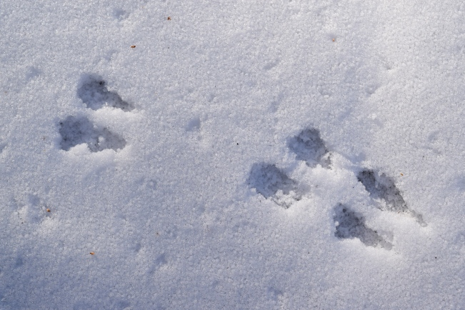 Animal footprints in the snow
