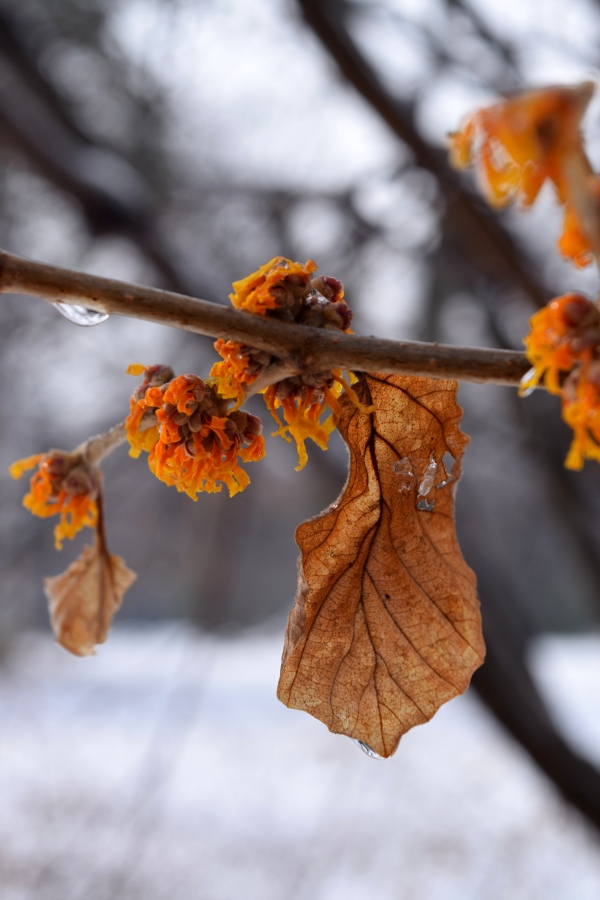 Hamamelis x intermedia 'Rochester' brings color to the snowy landscape