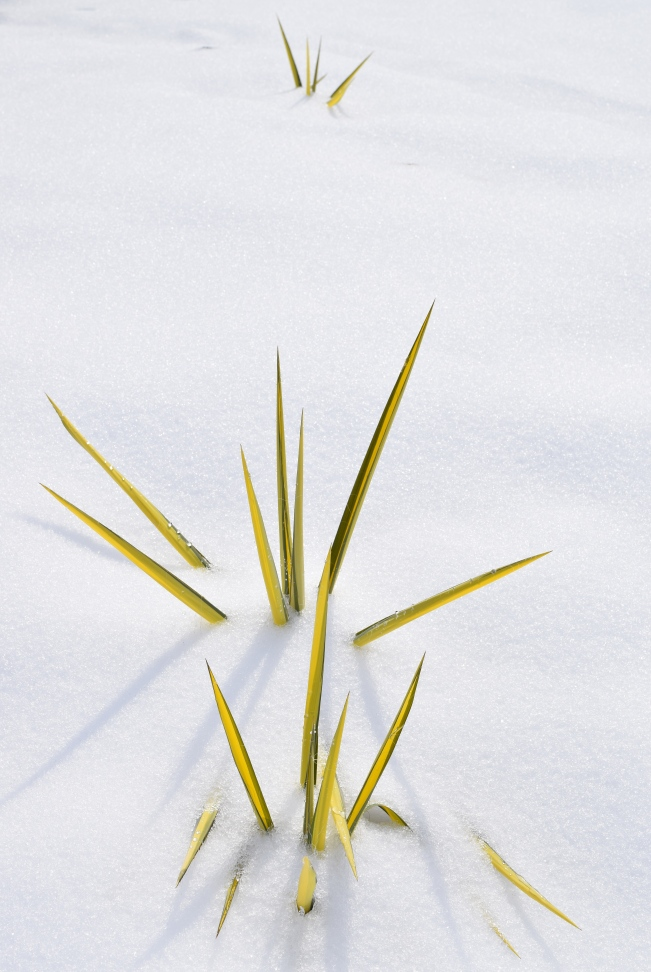 Yucca filamentosa 'Color Guard' putting on a brave show despite the snow