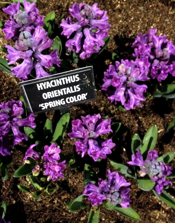 Hyacinth 'Spring Color'