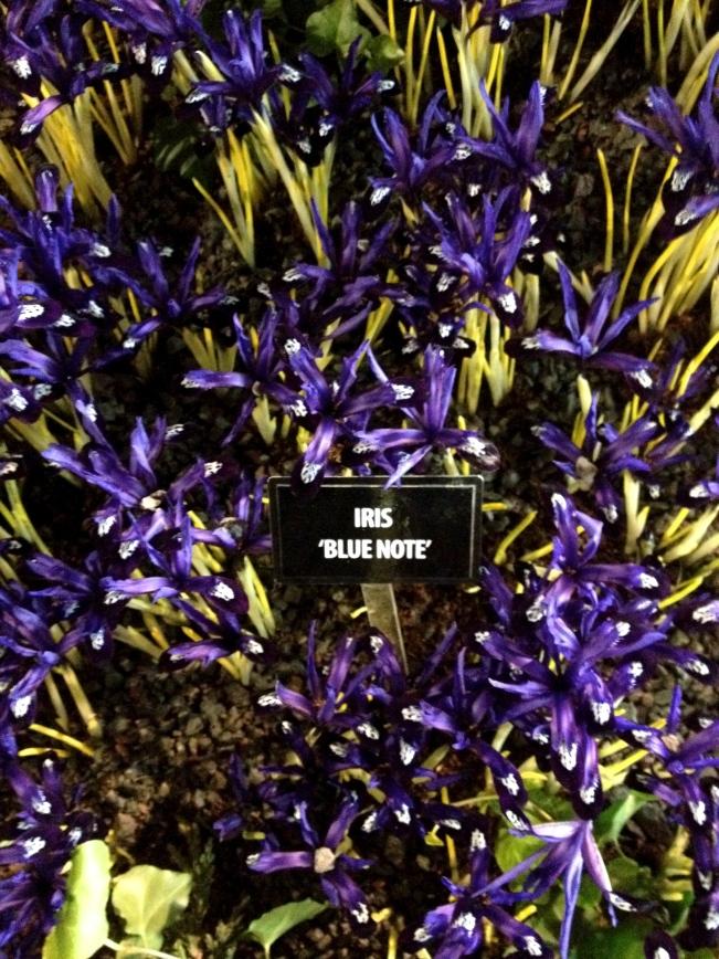 Iris 'Blue Note'