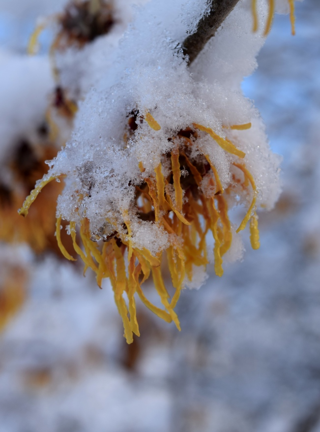 Hamamelis x intermedia 'Aurora' in the snow