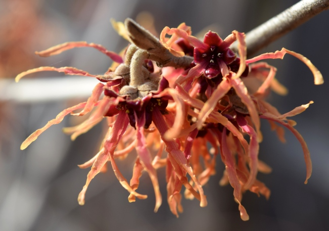 Hamamelis x intermedia 'Feuerzauber' - Magic Fire