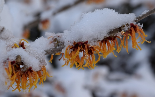 Hamamelis x intermedia 'Jelena' in the snow