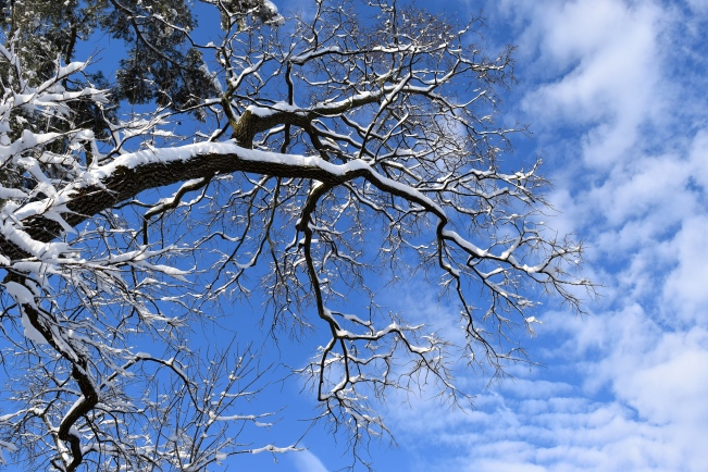 American Persimmon - Diospyros virginiana in the snow