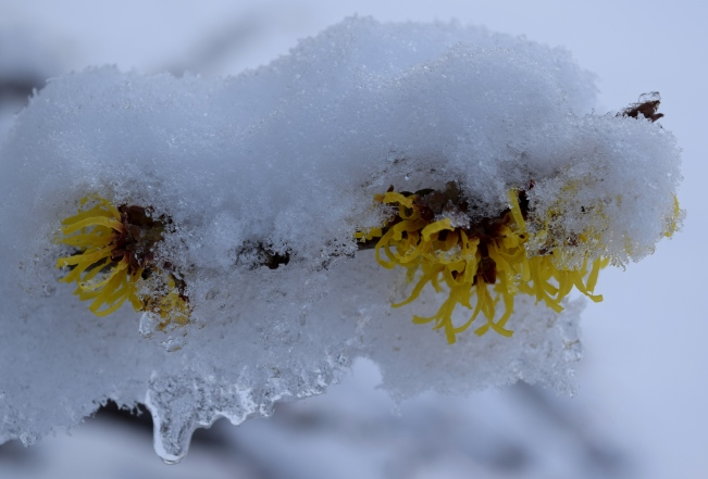 Hamamelis x intermedia 'Sunburst' in the snow
