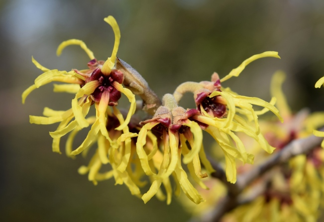 Hamamelis x intermedia 'Sunburst'
